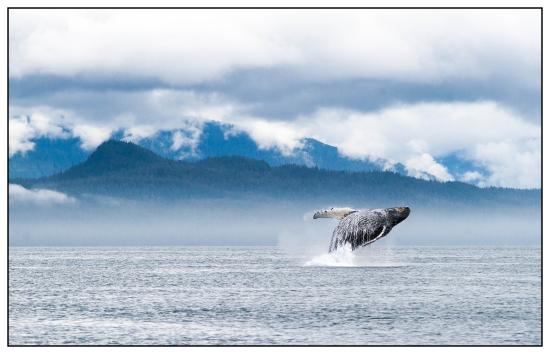 Gustavus, AK: Humpback whale  breaching