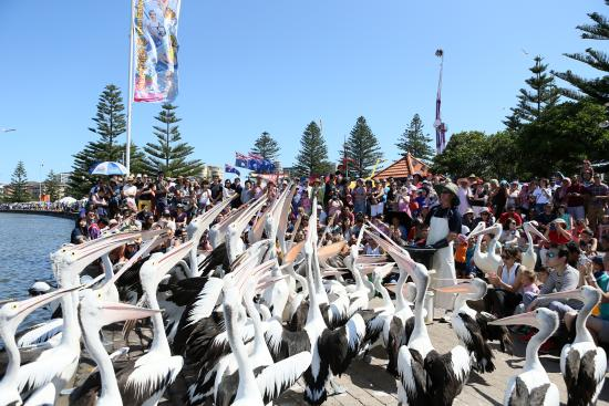 Pelican feeding at The Entrance 3.30pm daily!