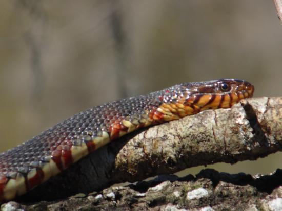 Gator Bait Adventure Tours Banded Water Snake Sunnng On A Log