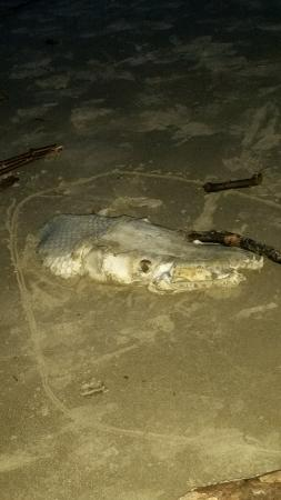 Commodore on the Beach: Dead huge fish (small gator?) on the beach