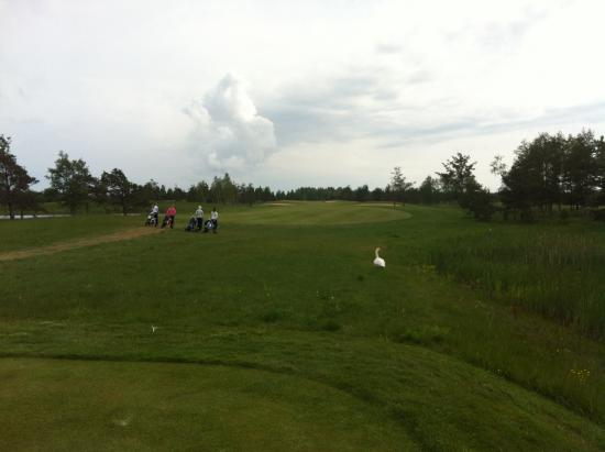 Saaremaa, Estonia: A group of ladies and a local swan enjoying a round of golf :)