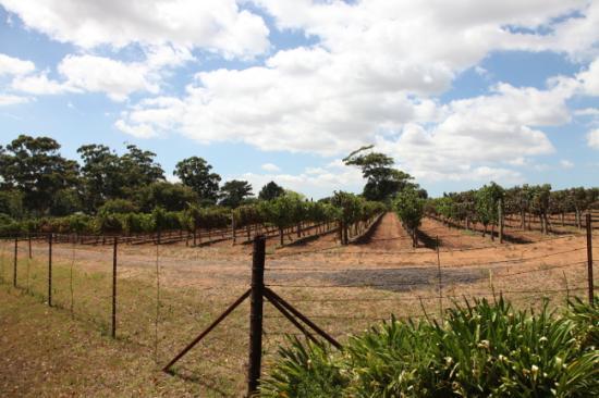 Vines, Groot Constantia