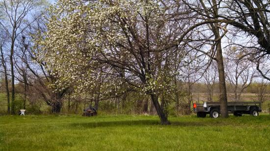 Salem, IA: Apple tree in bloom