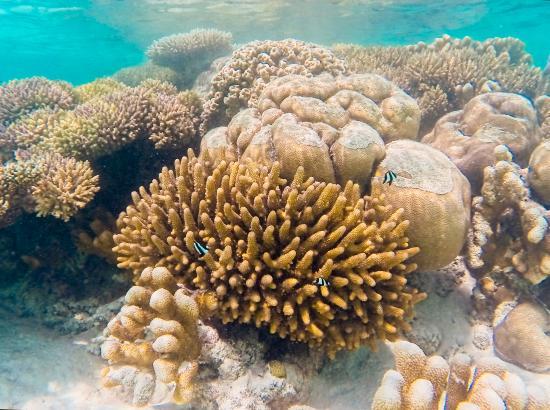 Canareef Resort Maldives: Koraller i Coral Garden lige ved sydspidsen af øen