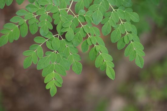 Kilauea, Hawái: Delicate leaves of the Mooring tree that is known as a highly nutritious superfood