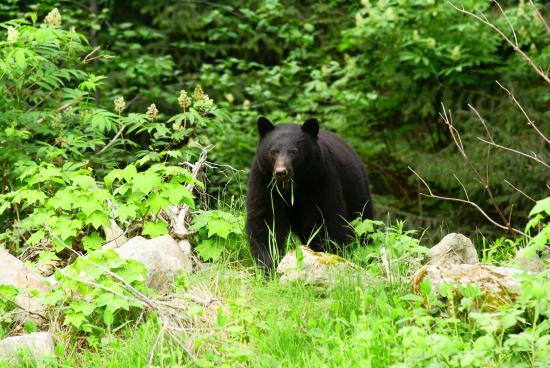 Zeballos, كندا: Black bear feeding