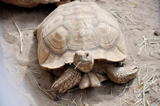 Bradenton, FL: Hick Turtle