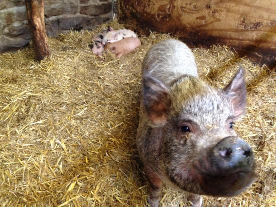 Bolton, UK: Get to hold a 'micro' piglet...