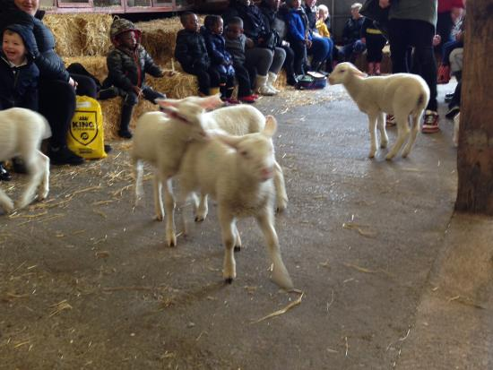 Bolton, UK: Enjoy bottle feeding the lambs...