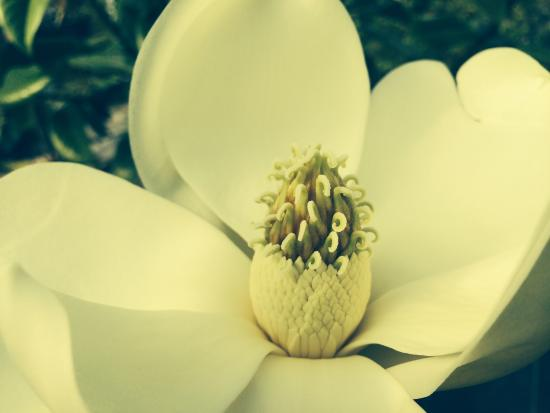 Courtenay, Kanada: Evergreen Magnolia blooming in July.   The fragrance is divine.