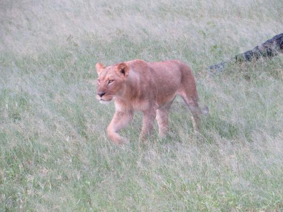 Wilderness Safaris Davison's Camp: One of the young lions we encountered