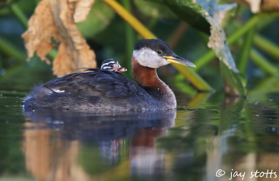 Ninepipes Lodge: Red Necked Grebe
