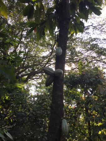 Pianta Di Cacao Foto Di Hacienda La Luz Comalcalco Tripadvisor