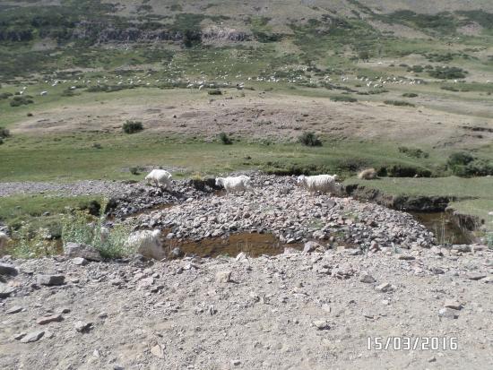 Caviahue, Argentina: Las cabras acompañaban en el camino algunos tramos.