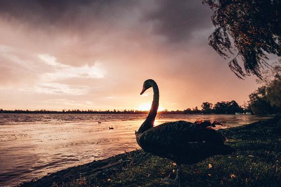 Ballarat, Australia: Lake Wendouree Swan