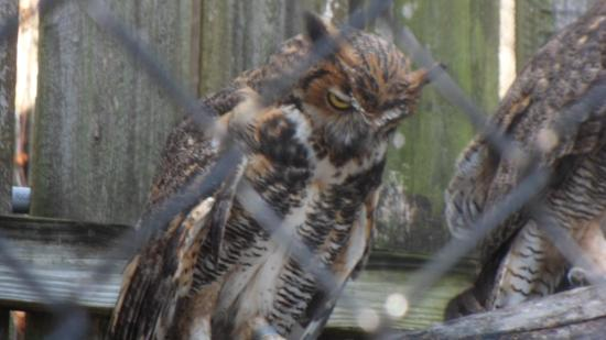 Save Our Seabirds: One of the owl cages