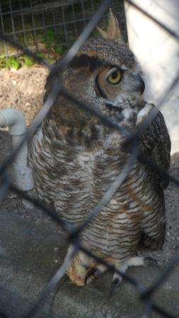 Save Our Seabirds: A good picture of a Great Horned Owl