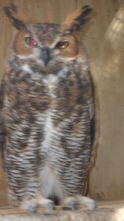 Save Our Seabirds: Front view of a Great Horned Owl