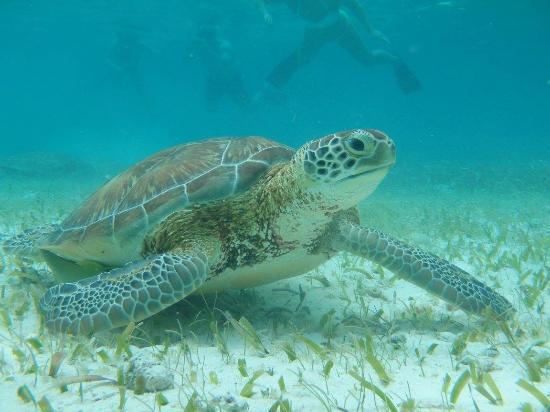 Scuba Sensations: A sea turtle we saw on our snorkeling adventure.