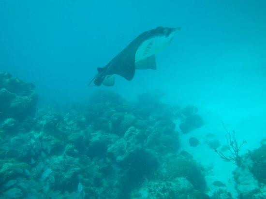 Scuba Sensations: Eagle Ray near the barrier reef.