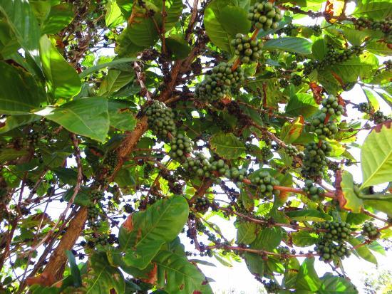 Kalaheo, Hawái: Coffee beans!!