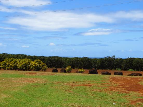Kalaheo, HI: Acres of coffee bean trees