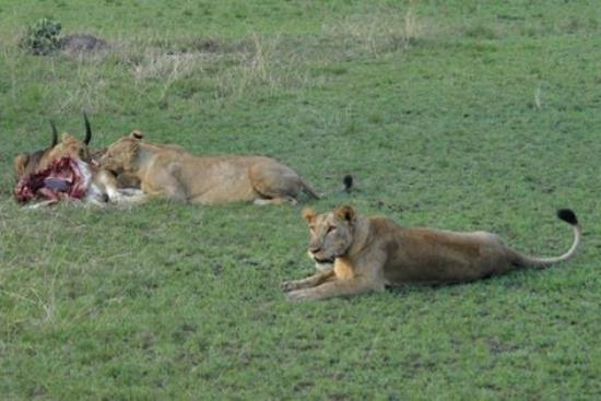 Female lion does most of the hunting, when it comes to