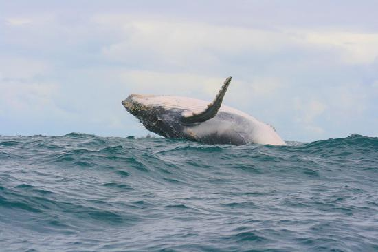 Bahía Solano, Colombia: salto de ballena