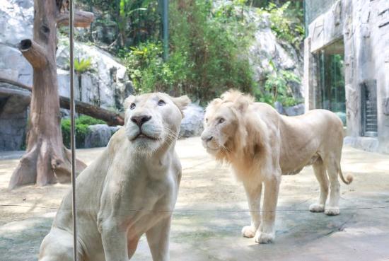 Sunway Lagoon: White Lion Kingdom