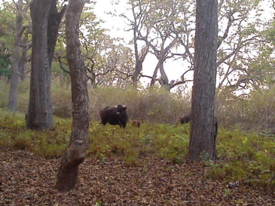 Yelandur, India: Indian Gaur