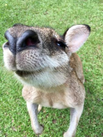 Diwan, Austrália: Wallaby at Lync-Haven