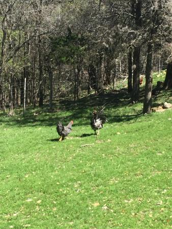 The Sauer-Beckmann Farmstead Tours: the hens are clucking