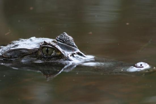 Cuyabeno Lodge: Caiman