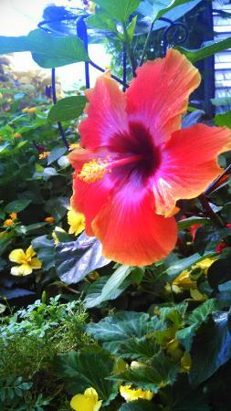 Williamsburg, MI: Garden Hibiscus