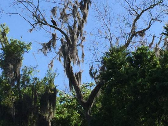 Astor, FL: Bald eagle in tree on St. Johns River