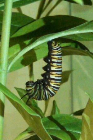 Williamsburg, MI: Monarch Caterpiller