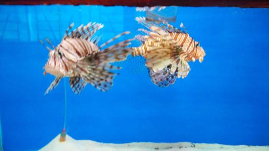 Lion Fishes At The Aquarium It S Well Lit And Clearly Visible Well