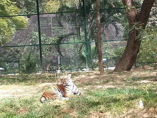 Bannerghatta National Park: Bengal Tiger at the entrance of BNP