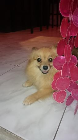 Cordova, Filippijnen: ポメはとってもかわいい!!