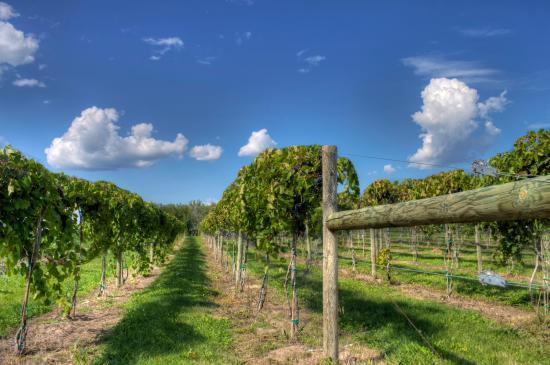 Wapello, Iowa: Grapevines