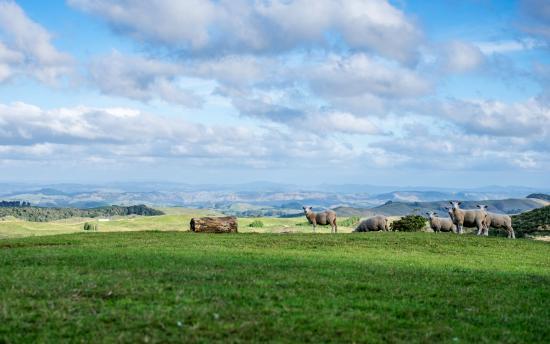 Te Kuiti, نيوزيلندا: Sheep in the backyard