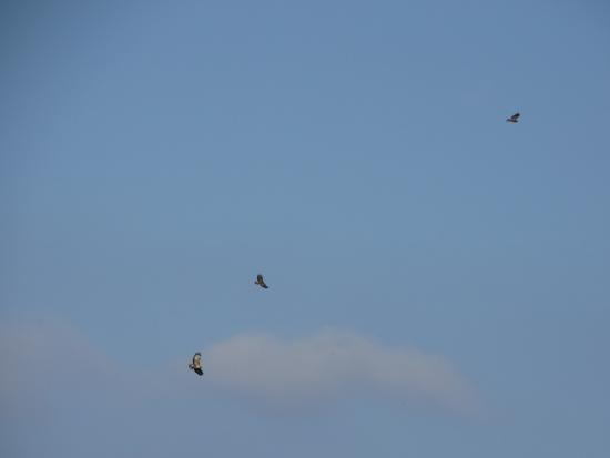 Aston Rowant, UK: three buzzards