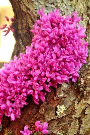 Red bud tree flowers growing right on the bark picture of south carolina botanical gardens red bud tree flowers growing right on the mightylinksfo