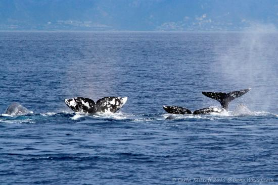 Dana Point, CA: Gray Whales fluke