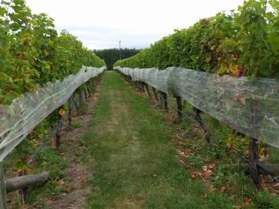 Ρένγουικ, Νέα Ζηλανδία: Vineyard 1
