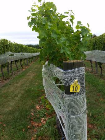 Ρένγουικ, Νέα Ζηλανδία: Vineyard 2