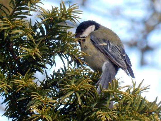 Acton Park: Blue Tit bird.