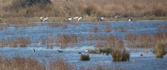 Stodmarsh National Nature Reserve: Shovelers, teal and pintail at Stodmarsh.