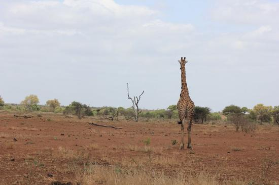 Giraffe in Kruger - Picture of The Wild Side Tour