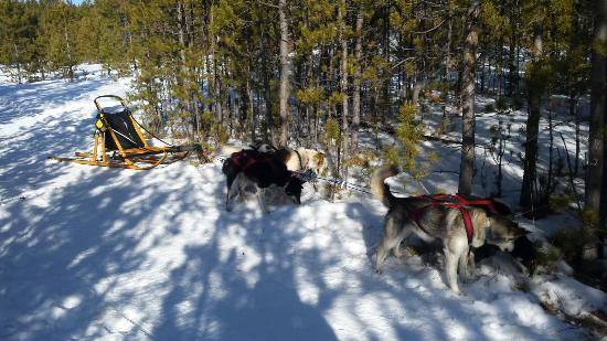 Takhini River Lodge: Initiation au Dodsledding ( Chiens de traineaux )...